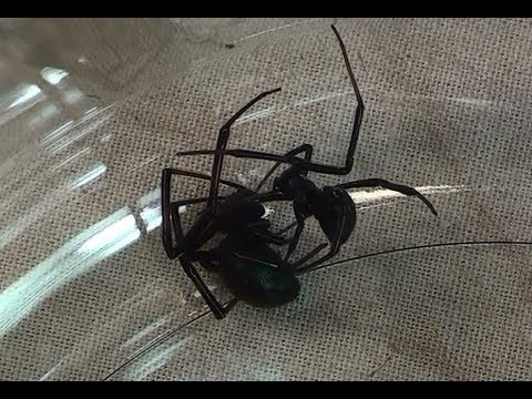 Black Widow Spider Mating; Black Widow vs. Black Widow