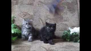 httpelitcats com   котята экзотов