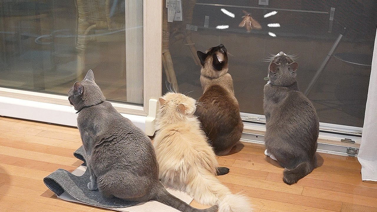 역대급 큰 나방에 맞서는 고양이들.. 너네 짱 멋있다....