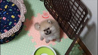 Left Alone Baby Pome Reaction [Pomeranian Baby Growth Process Adoption Vlog] pet pomeranian vlog