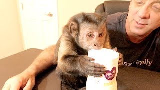 Capuchin Monkey LOVES Banana Puffs!