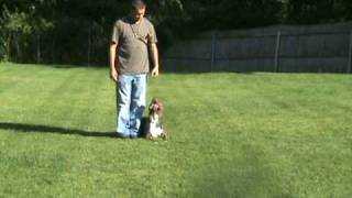 Blue Pitbull Training, American Pitbull Terrier. Dog Obeidence    Pitbulls