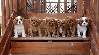 Cavalier King Charles Spaniel Puppies trying the stairs...and it's cute!