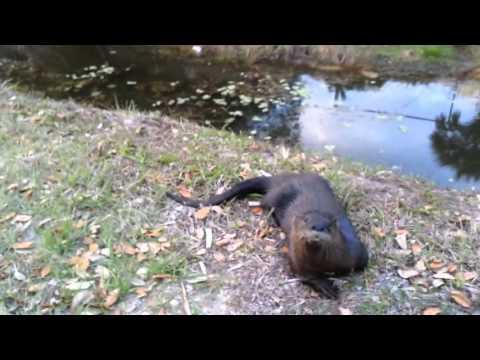 Otter plays like a dog