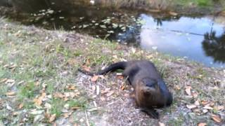 Repeat youtube video Otter plays like a dog