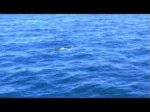 Boston Whale Watching Tour - Humpback whales