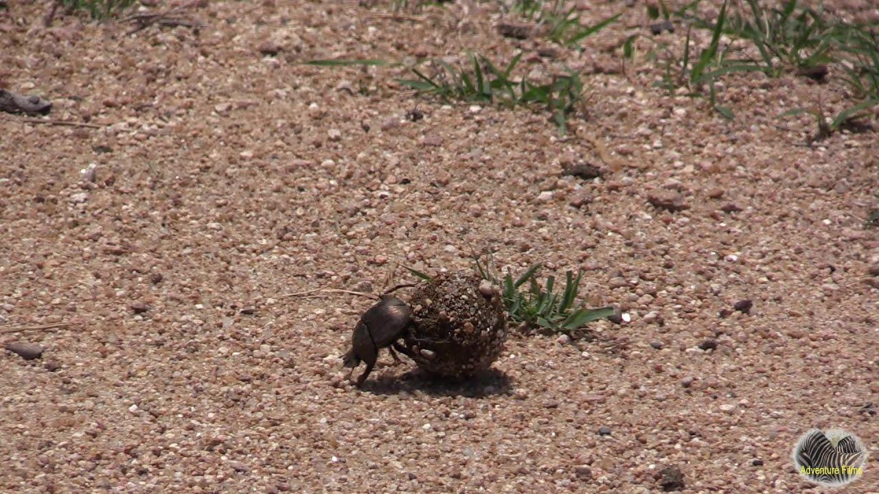 Watch A Dung Beetle Rolling Poop
