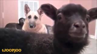 Goats N