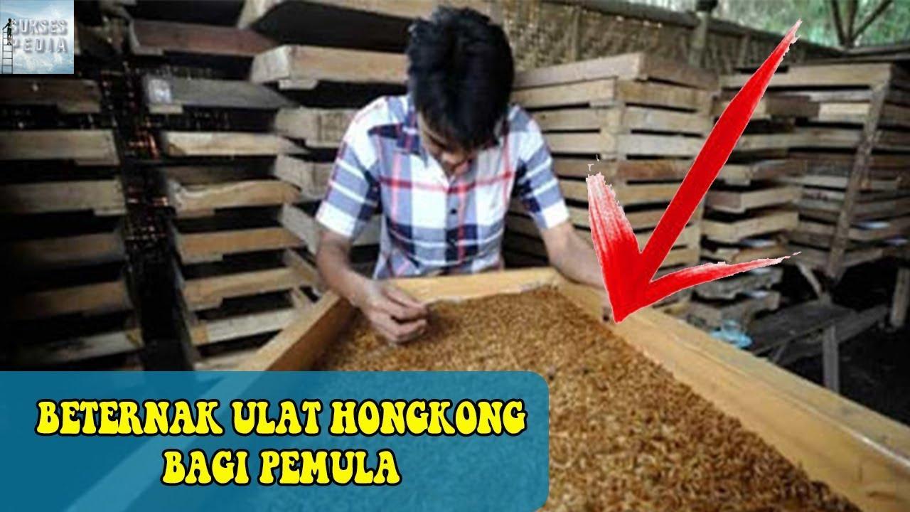 Cara Beternak Ulat Hongkong Bagi Pemula Youtube