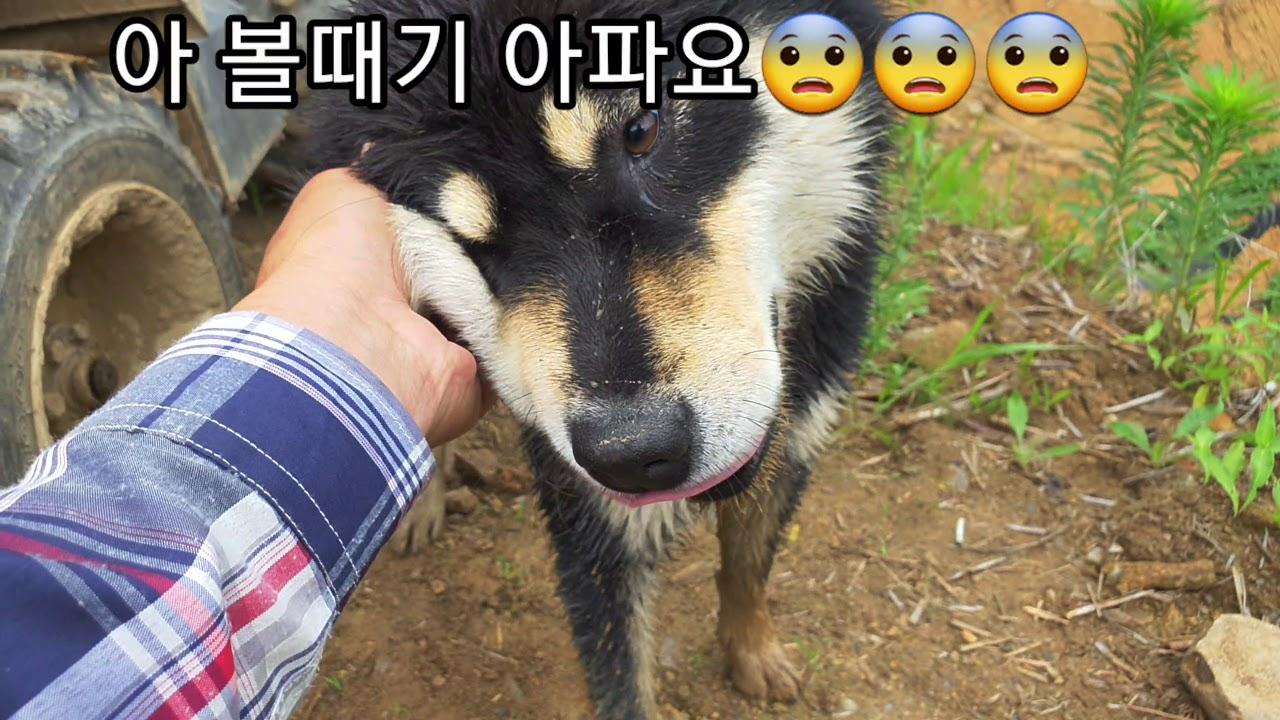 진돗개 블랙탄 #73. 구룡이와 예리. 구룡이 어깃장 놓기