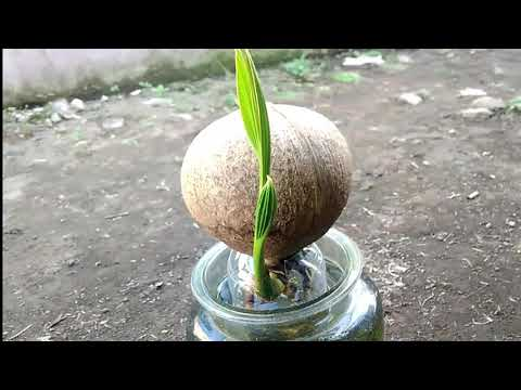 Coconut Bonsai And Mini Aquarium Bonsai Kelapa Youtube