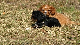 Cavalier King Charles Spaniel, Puppies, For, Sale, In, Chandler, Arizona, County, Az, Pinal, Yavapai
