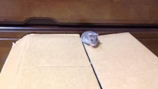 ゲージのドームのすき間から 天井に出て、また、 ダンボールのすき間から 出て来るのです。