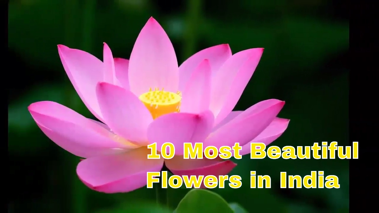 10 most beautiful flowers in india that are commonly available youtube 10 most beautiful flowers in india that are commonly available izmirmasajfo