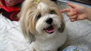 Shichon Teddy Bear Tricks