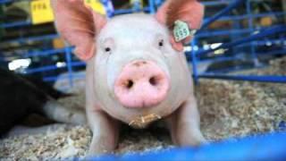 hog calling contest