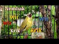 Pleci Gacor Ngotot Nembak Wit Wit Wit Pas Banget Buat Masteran  Mp3 - Mp4 Download