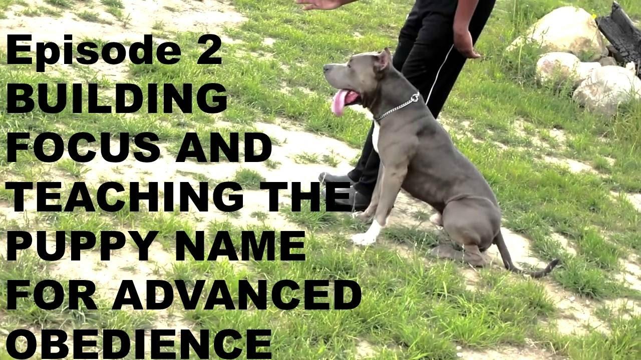 Pit Bull Pitbull Dog Puppy Basics