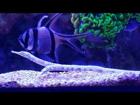 Feeding Dragon Pipefish | 2017 - Red Sea Reefer 525 XL