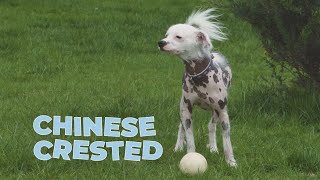 Chinese Crested Dog Breed Information and Facts