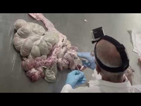 Pig Digestive Tract Dissection