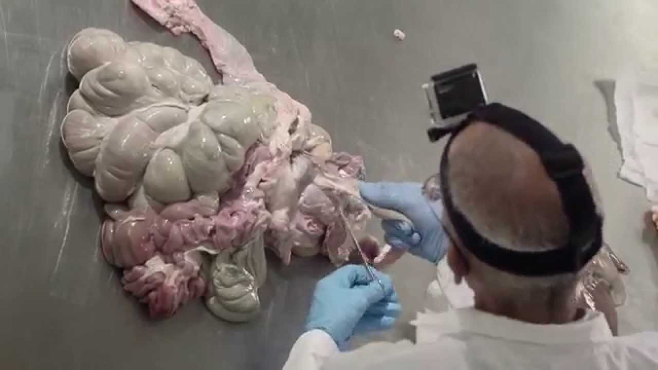hight resolution of pig digestive tract dissection