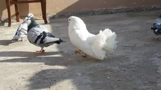 Tavus güvercini ( sepet kuyruk)