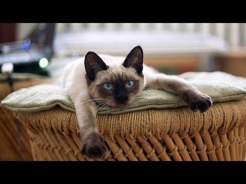 How to Care for Siamese Kittens - Entertaining Siamese Kittens
