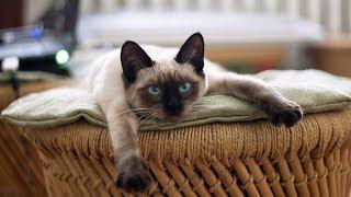 How to Care for Siamese Kittens  Entertaining Siamese Kittens