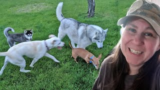 kira-the-husky-puppy-makes-new-friends