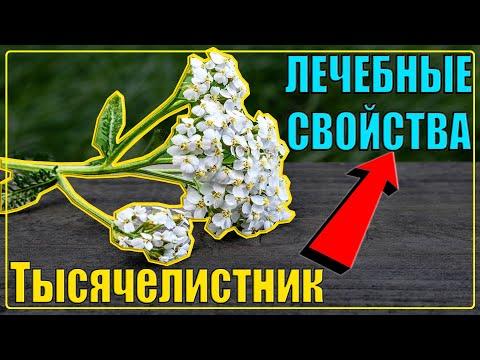 ТЫСЯЧЕЛИСТНИК ЛЕЧЕБНЫЕ СВОЙСТВА (ПОЛЕЗНЫЕ), применение, польза для мужчин, женщин | Солдатская трава