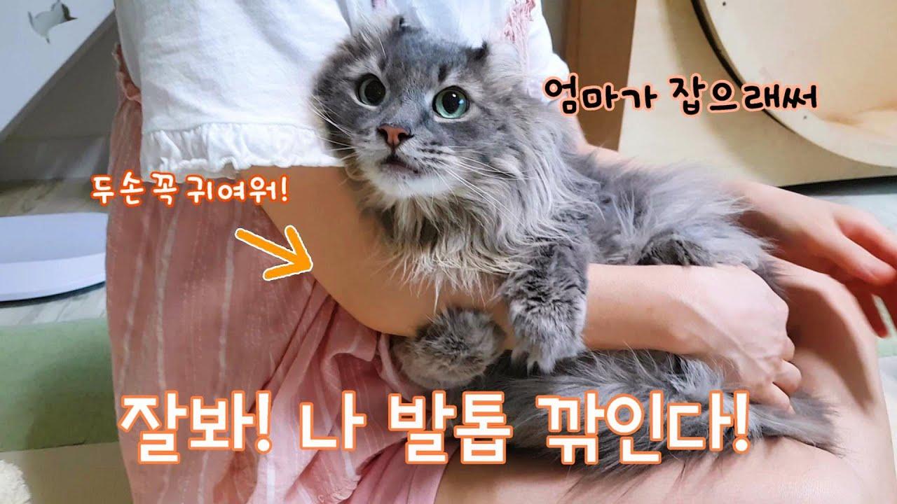고양이 발톱깎기 참 쉽....죠? 고양이 빗질은 더??