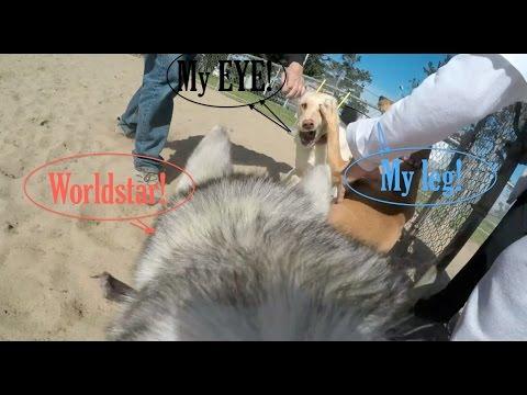 LABRADOR DOG FIGHT !! Siberian Husky Gopro