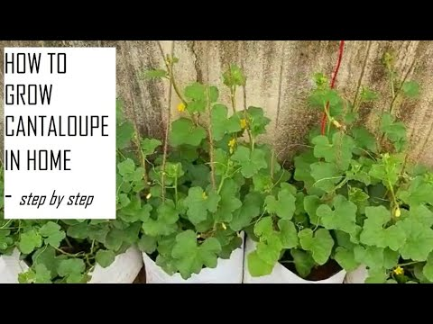 How to grow Muskmelons at home / How to grow Cantaloupes from seeds / Home gardening in Tamil Nadu
