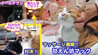 <2匹の猫通信>「ほっこりライブ」暴れん坊めめちゃんプロレス実力アップ!マッサージでご機嫌なマック!2020 01 26- Cat Live Stream in Japan - Cat Life TV
