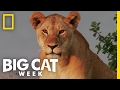 A Landscape of Fear | Big Cat Week