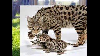 Самая большая кошка // The big cat