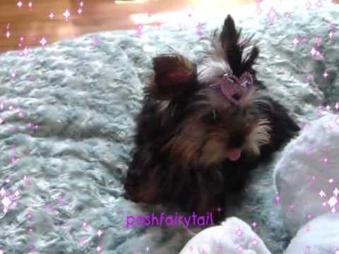 Tiy Tea Cup Yorkie Girl5 5 Month Old 1 Lbs Youtube