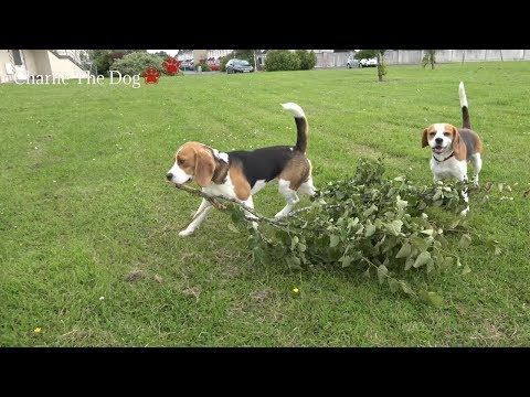 Cute beagle dogs playing hide n seek with baby (Charlie the dog)