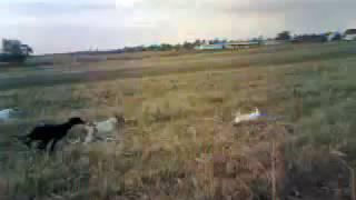 Emy & Myke  si ogarii, alearga un iepure polar