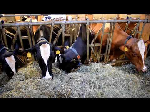 Alimentation des bovins (VL) en Suisse - Massey Ferguson 5475 & Strautmann