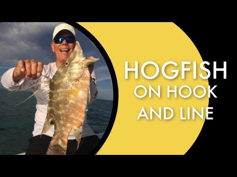 Key Largo Hogfish On Hook And Line
