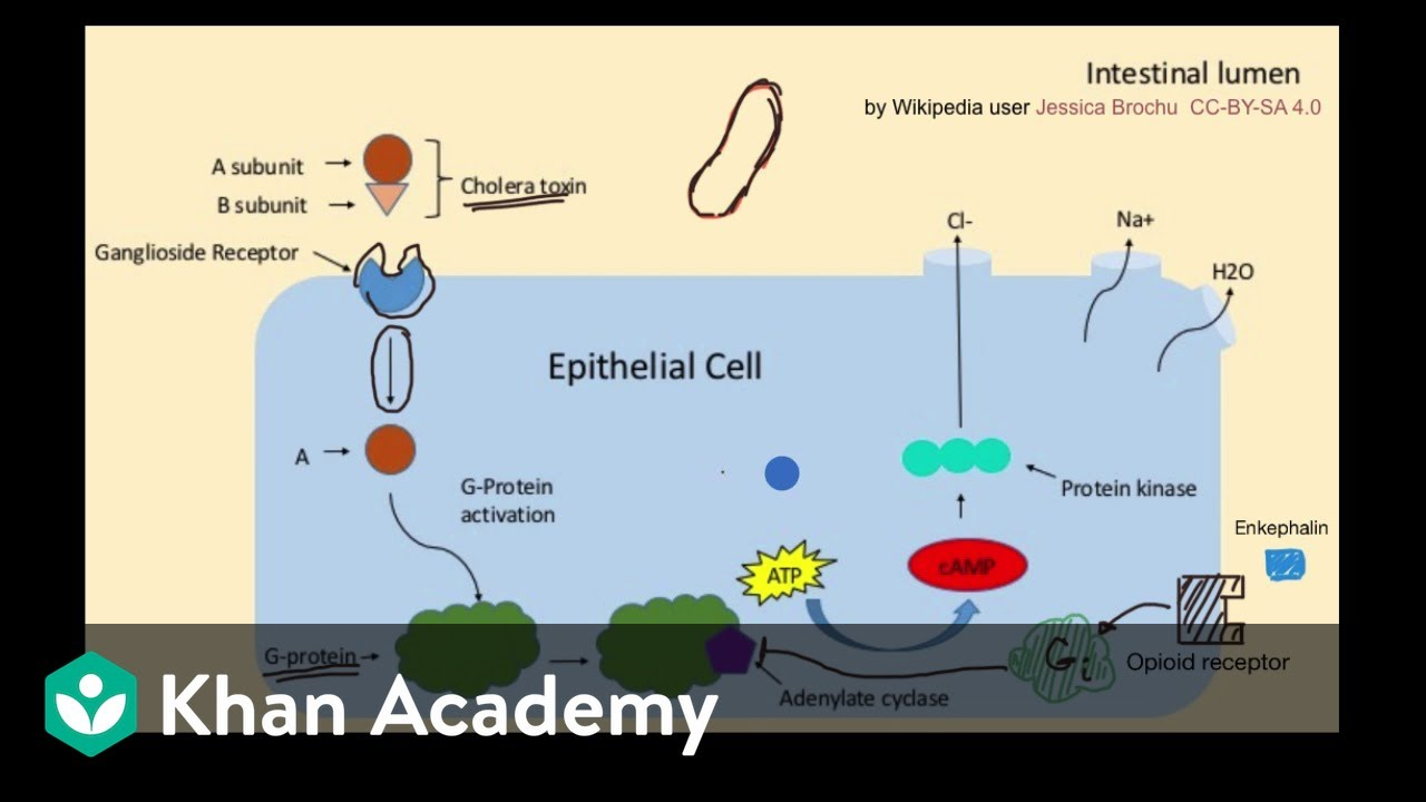 Activation And Inhibition Of Signal Transduction Pathways Video Khan Academy