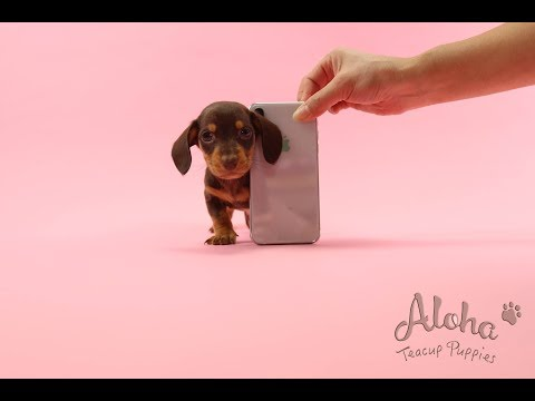 Teacup Mini Dachshund Puppies For Sale