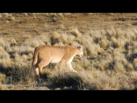 Puma - in Torres Del Paine, Chile