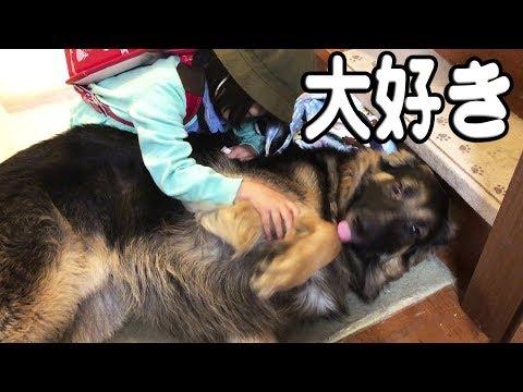 シェパード犬好きでたまらない孫娘りりか♪German Shepherd dog