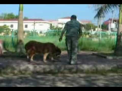 huấn luyện chó nghiệp vụ, chó Bấc, anh Dũng 0912155662