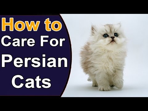 How To Care For Persian Cats | Things to Know About Persian Cats