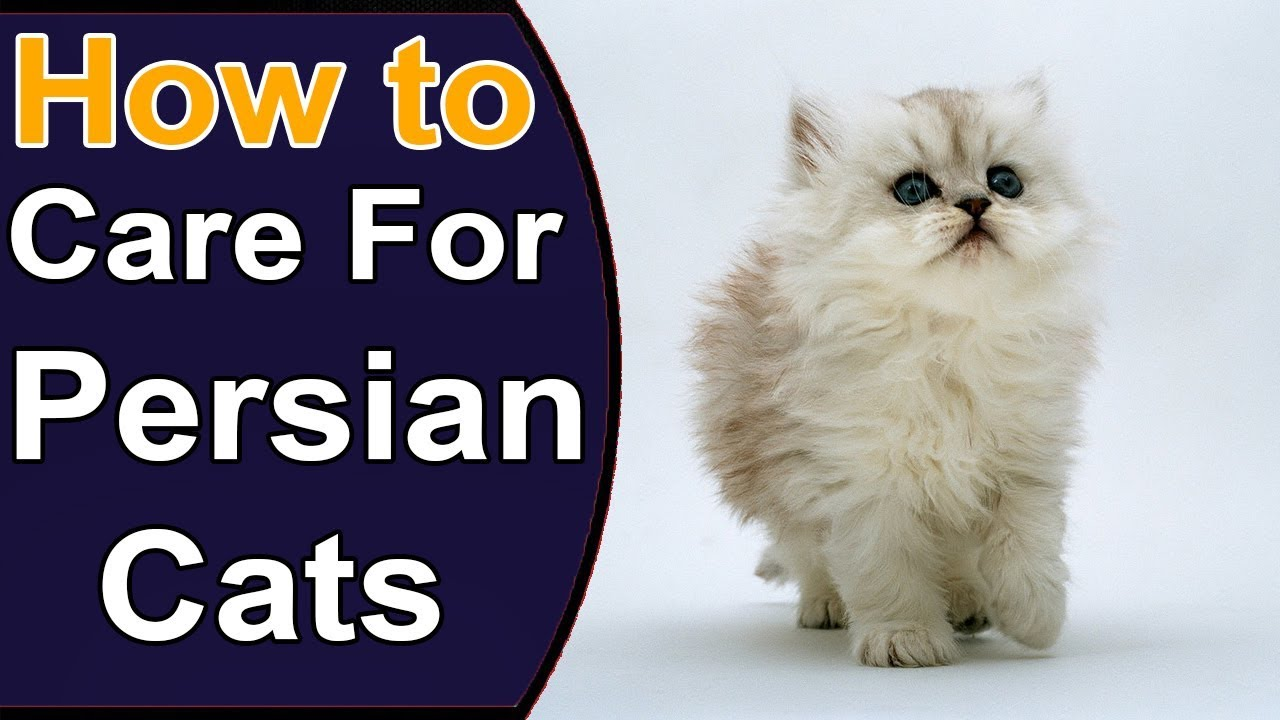 How to care for Persian kittens 29