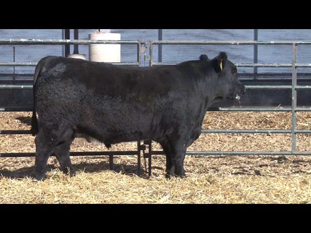Schiefelbein Angus Farms Lot 210